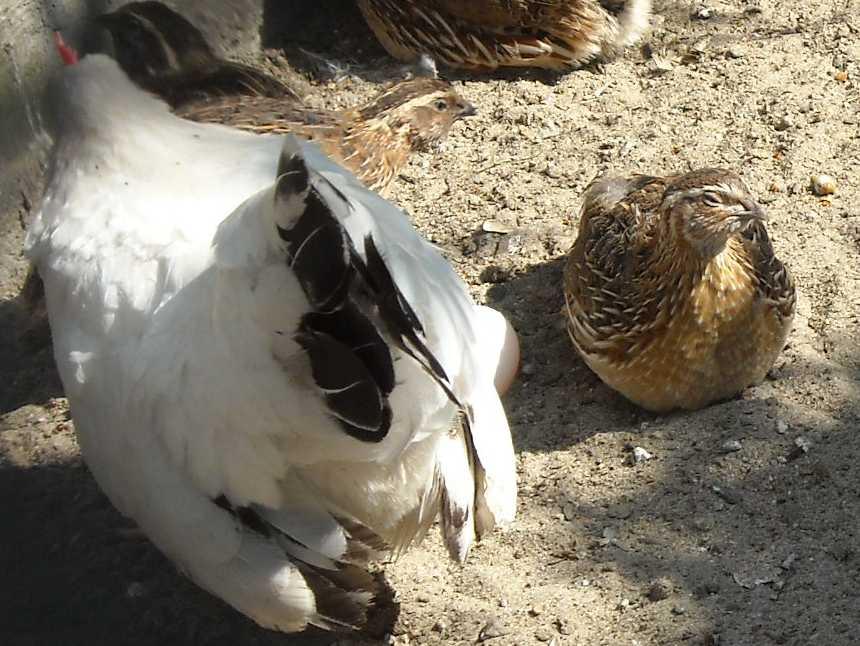 Курица Шабо -   (фото 2058)