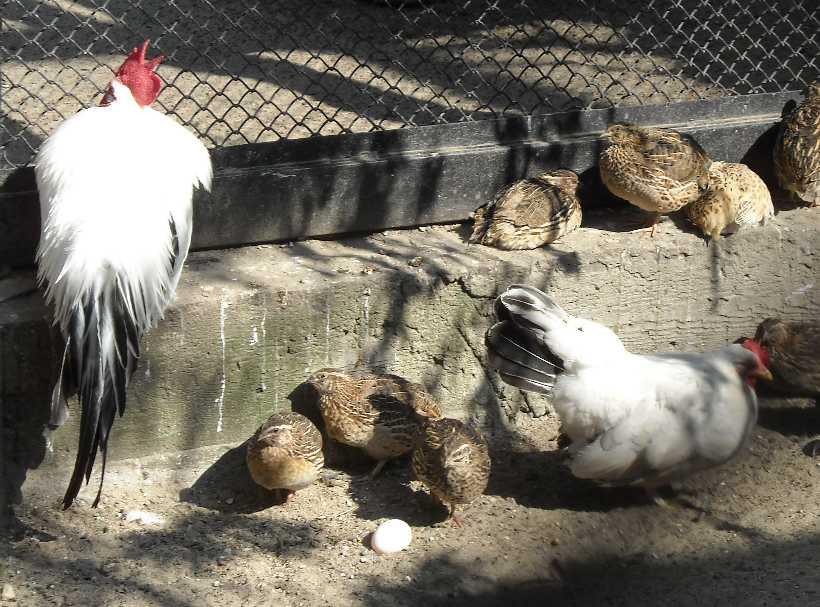 Курица Шабо -   (фото 2059)