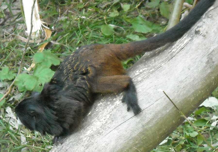 Буроголовый тамарин - Saguinus fuscicollis  (фото 2075)