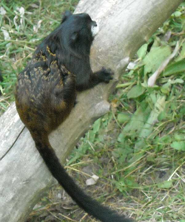 Буроголовый тамарин - Saguinus fuscicollis  (фото 2077)