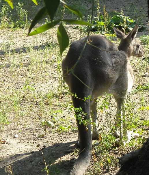 Большой серый кенгуру - Macropus giganteus  (фото 2113)