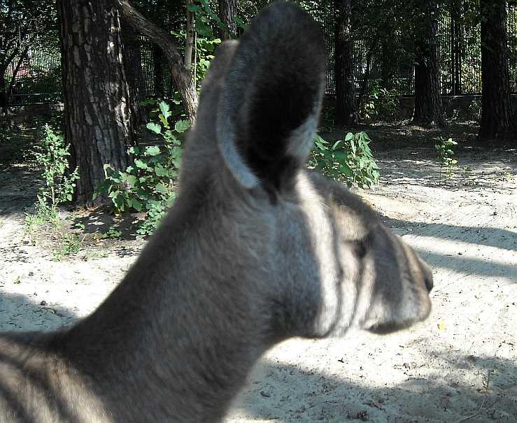 Большой серый кенгуру - Macropus giganteus  (фото 2116)