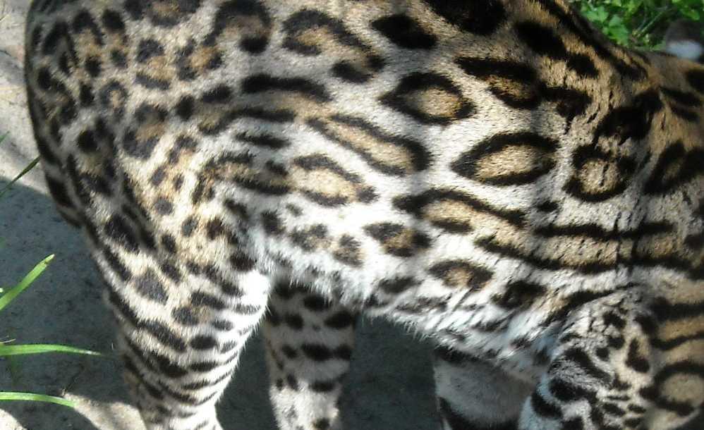Оцелот - Felis pardalis  (фото 2139)