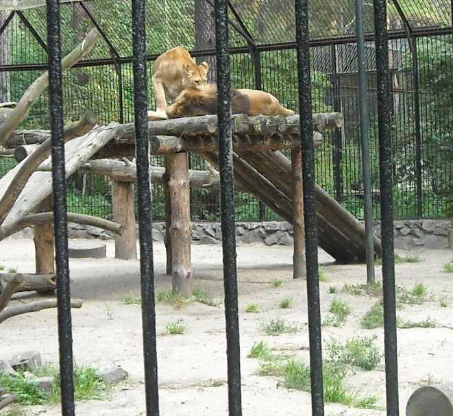 Африканский лев - Panthera leo  (фото 2252)