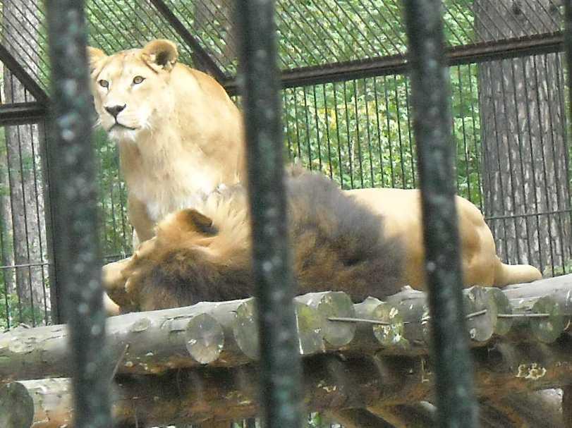 Африканский лев - Panthera leo  (фото 2253)