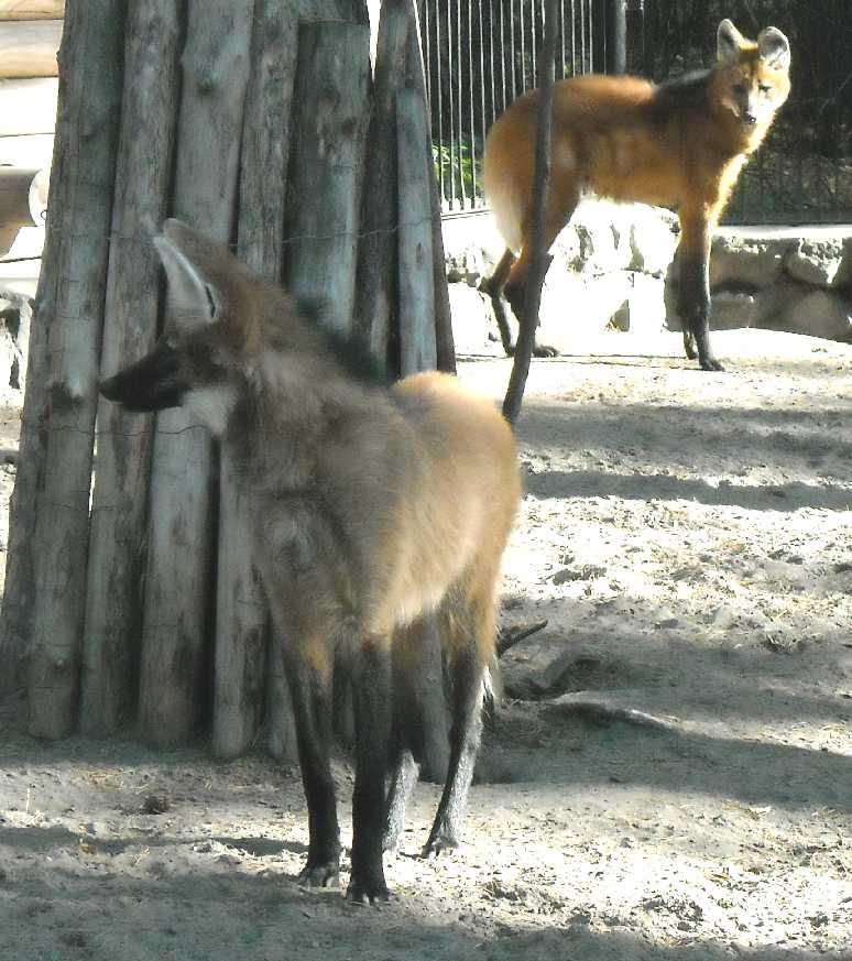 Гривистый волк - Chrysocyon brachyurus  (фото 2456)