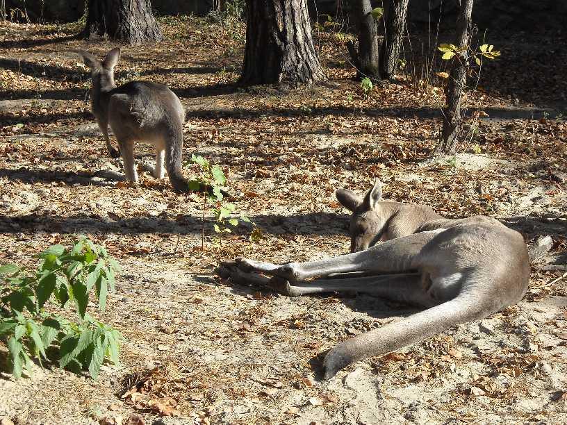 Большой серый кенгуру - Macropus giganteus  (фото 2464)