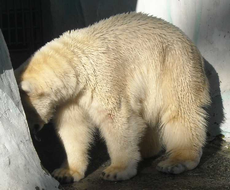 Белый медведь - Ursus maritimus  (фото 2471)