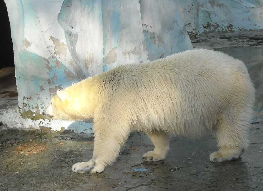 Белый медведь - Ursus maritimus  (фото 2472)