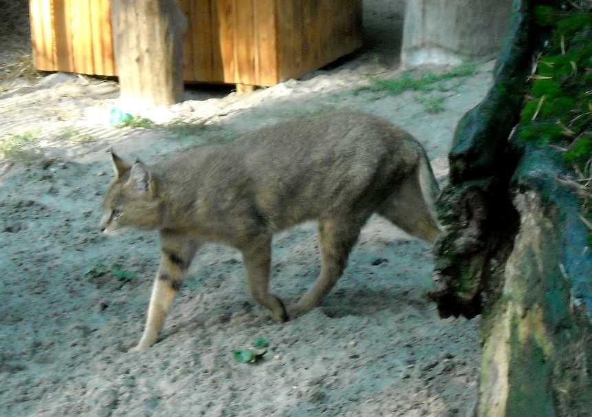 Камышовый кот - Felis chaus  (фото 2488)