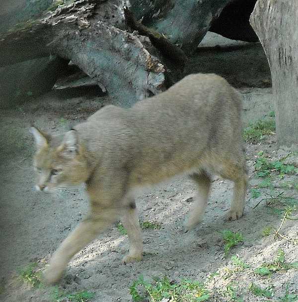 Камышовый кот - Felis chaus  (фото 2489)