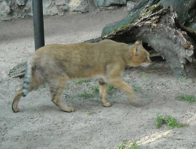 Камышовый кот - Felis chaus  (фото 2490)