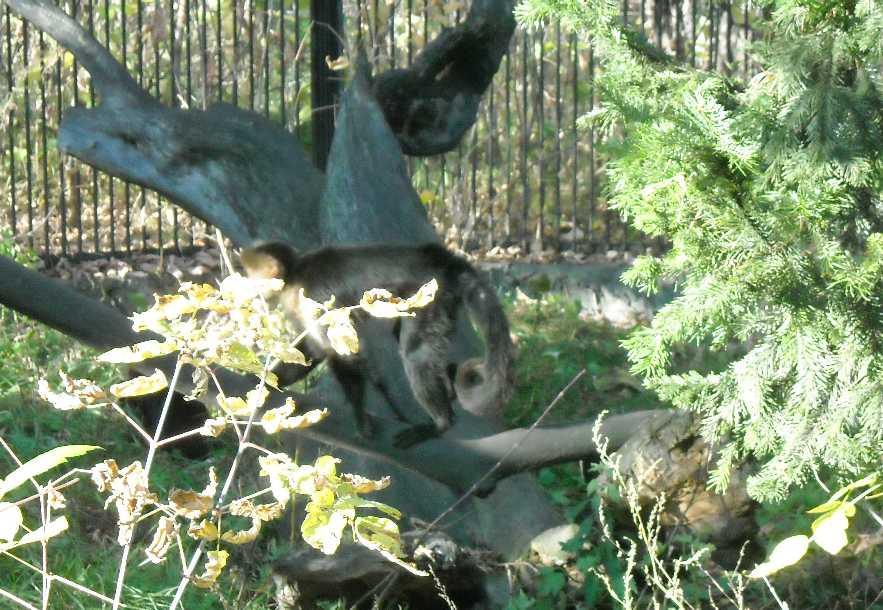 Белоплечий капуцин - Cebus capucinus  (фото 2492)