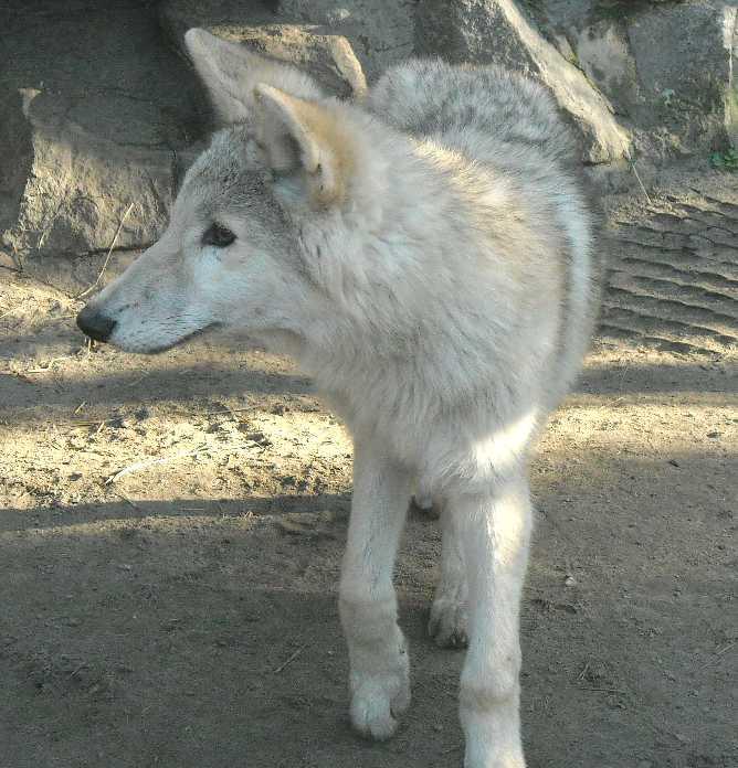 Полярный волк - Canis lupus occidentalis  (фото 2503)