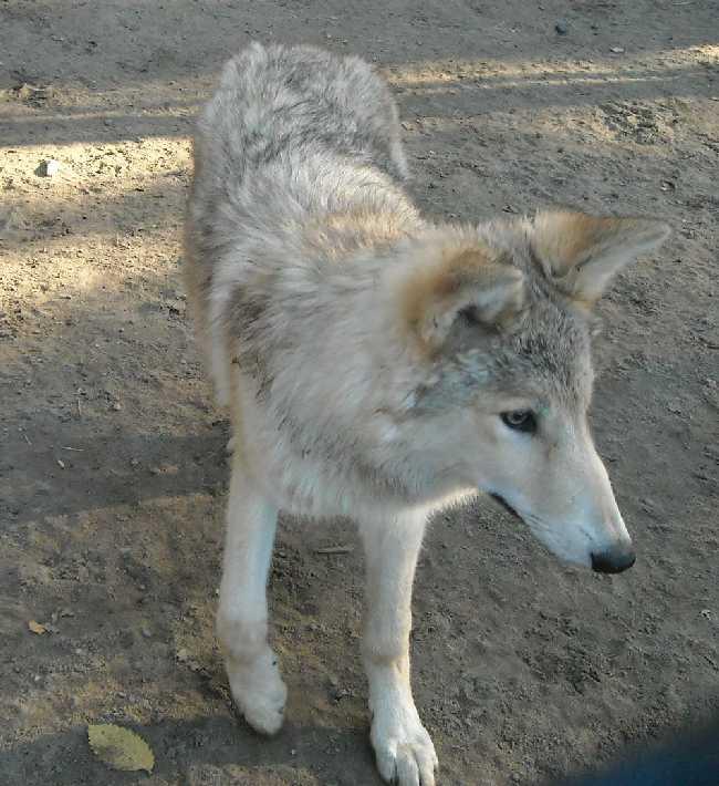 Полярный волк - Canis lupus occidentalis  (фото 2505)