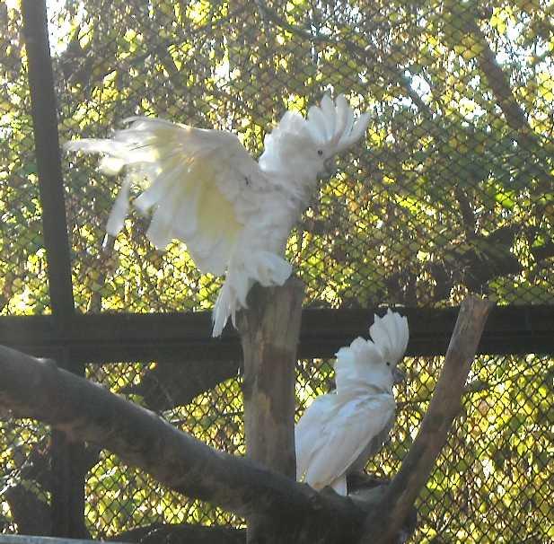 Белый какаду - Cacatua alba  (фото 2522)