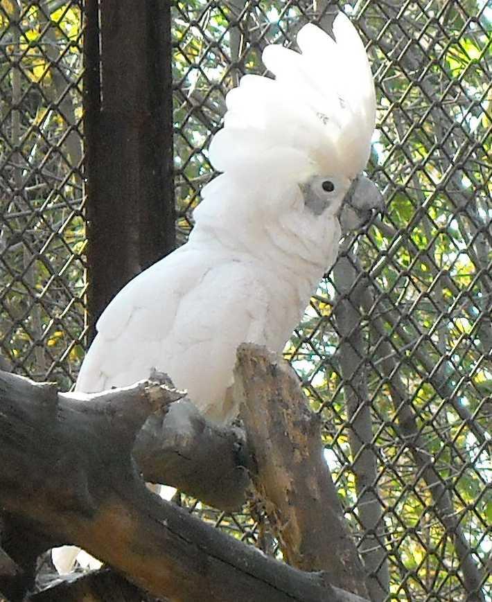 Белый какаду - Cacatua alba  (фото 2523)