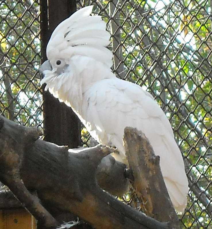 Белый какаду - Cacatua alba  (фото 2524)
