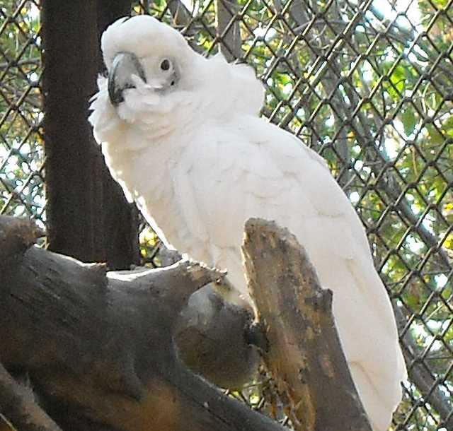 Белый какаду - Cacatua alba  (фото 2525)