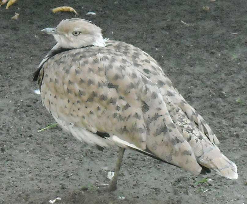 Джек - Chlamydotis undulata  (фото 2553)