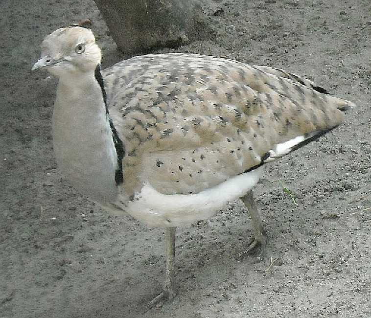 Джек - Chlamydotis undulata  (фото 2554)
