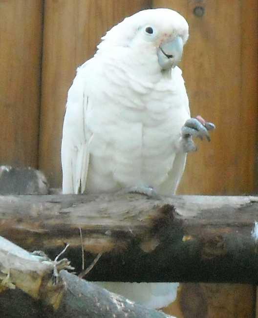 Какаду Гоффина - Cacatua goffini  (фото 2562)
