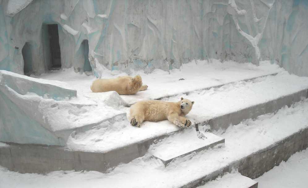 Белый медведь - Ursus maritimus  (фото 2596)