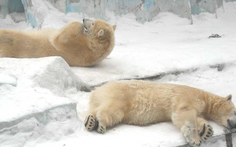 Белый медведь - Ursus maritimus  (фото 2597)