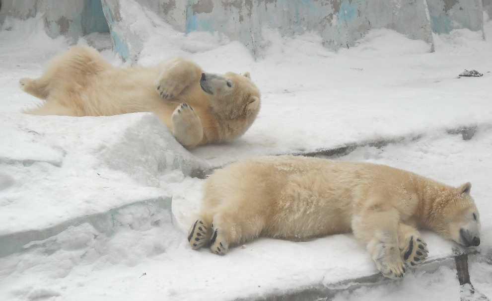 Белый медведь - Ursus maritimus  (фото 2598)