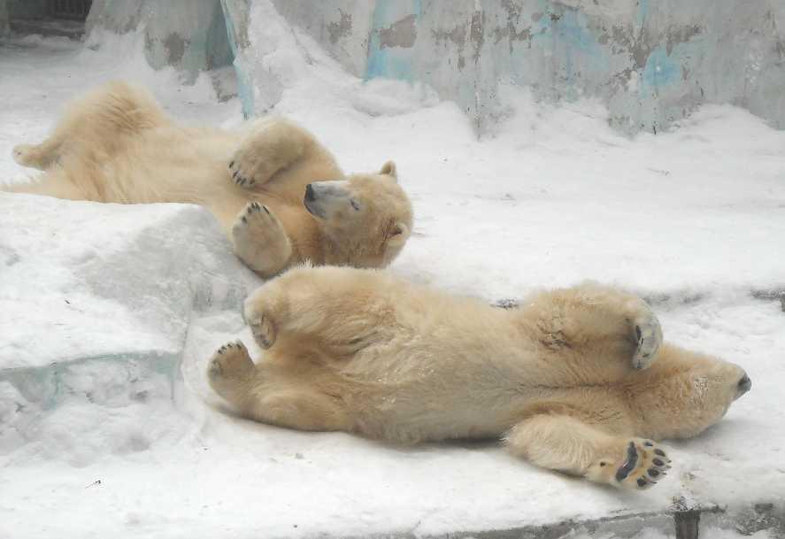 Белый медведь - Ursus maritimus  (фото 2599)