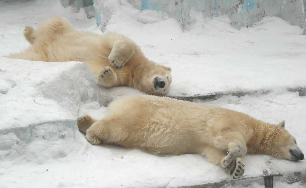 Белый медведь - Ursus maritimus  (фото 2601)