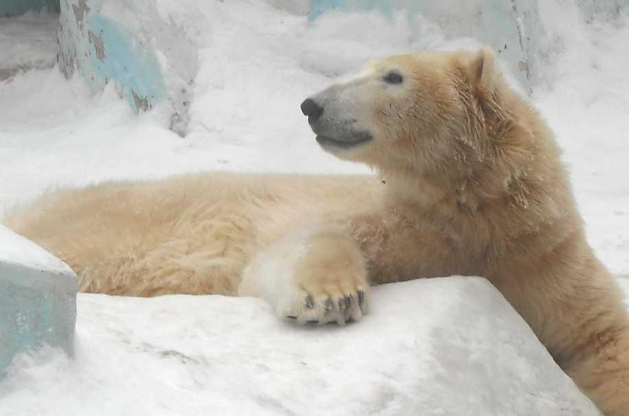 Белый медведь - Ursus maritimus  (фото 2602)