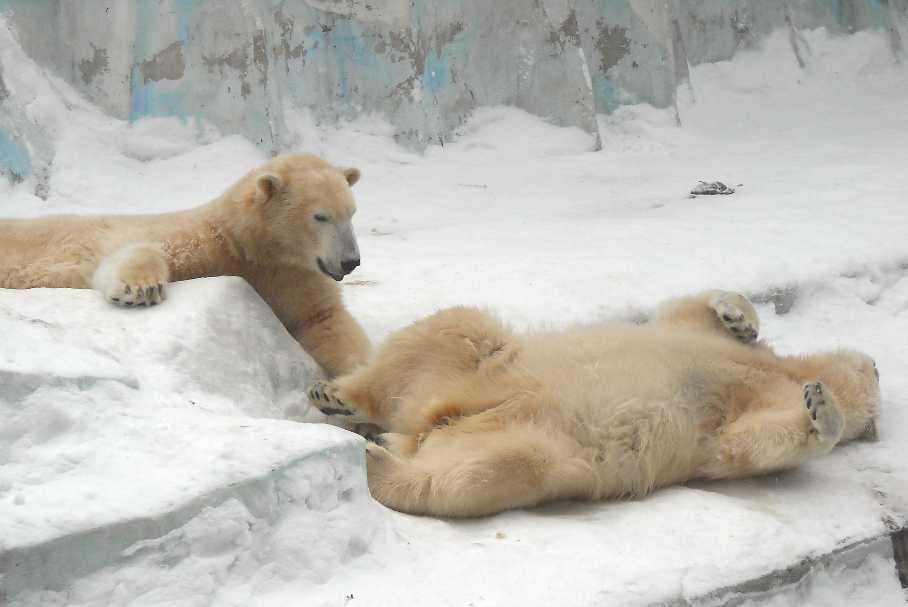Белый медведь - Ursus maritimus  (фото 2604)