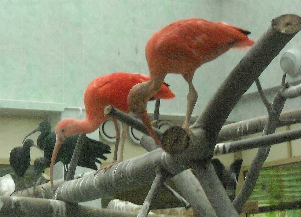 Красный ибис - Eudocimus ruber  (фото 2658)
