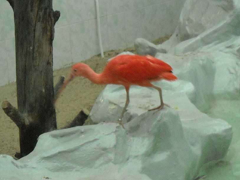 Красный ибис - Eudocimus ruber  (фото 2659)