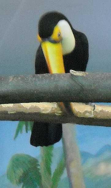Большой тукан (токо) - Ramphastos toco  (фото 2661)