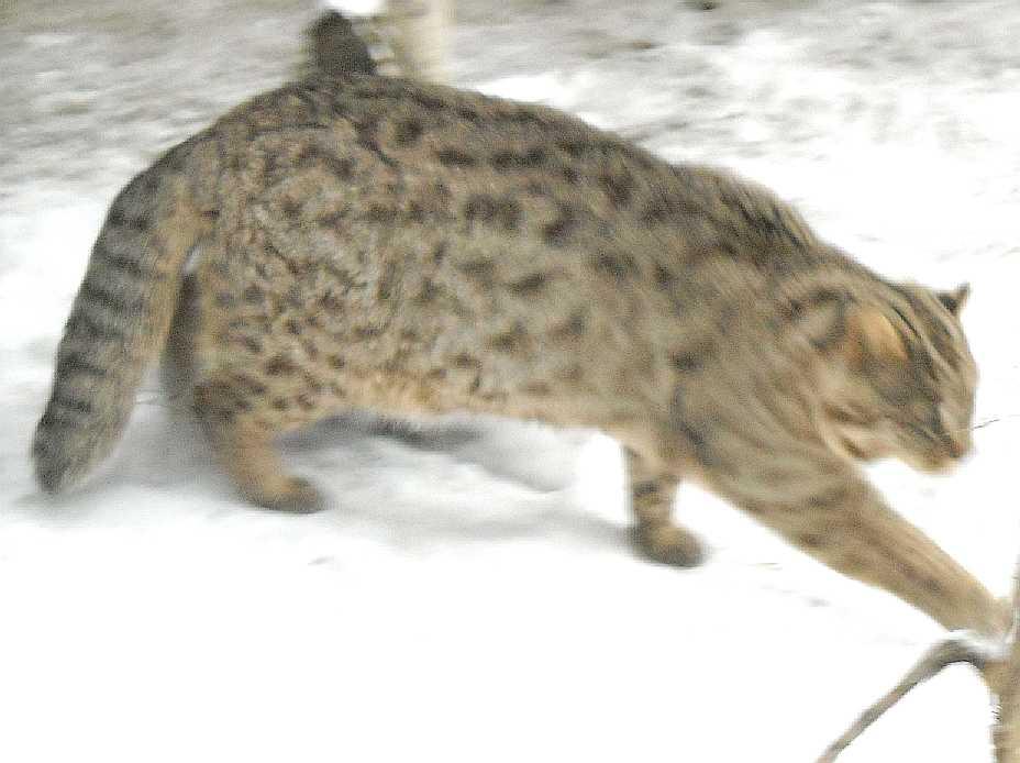 Дальневосточный лесной кот - Felis euptilura  (фото 2666)