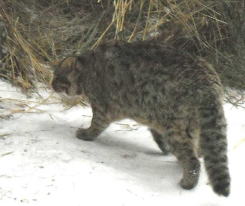 Дальневосточный лесной кот - Felis euptilura  (фото 2667)