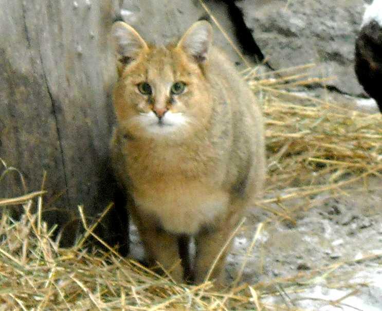 Камышовый кот - Felis chaus  (фото 2670)