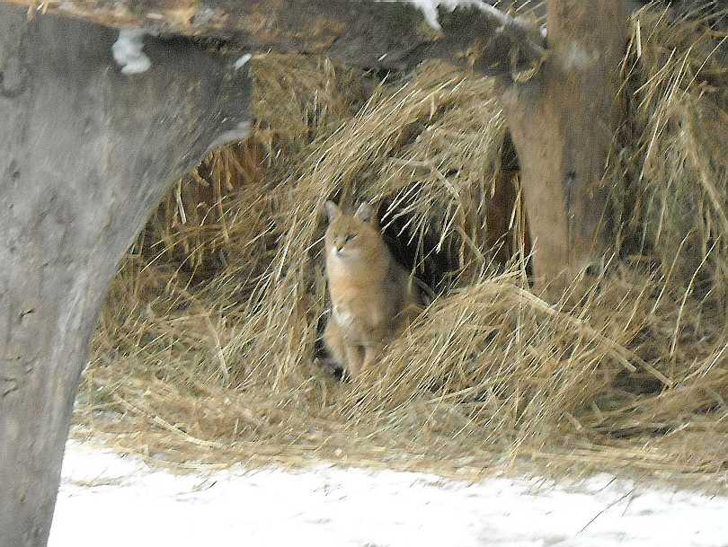 Камышовый кот - Felis chaus  (фото 2671)