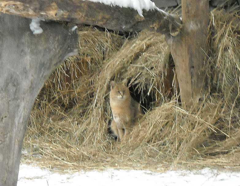 Камышовый кот - Felis chaus  (фото 2672)