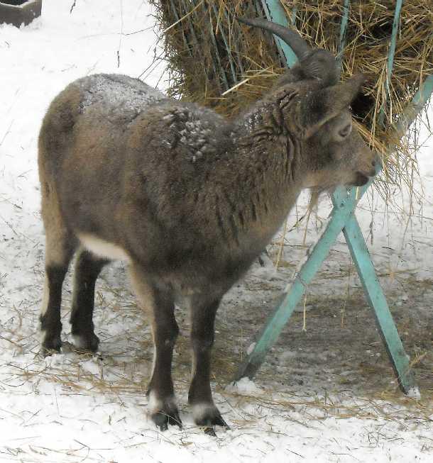 Сибирский горный козел - Capra ibex sibirica  (фото 2731)