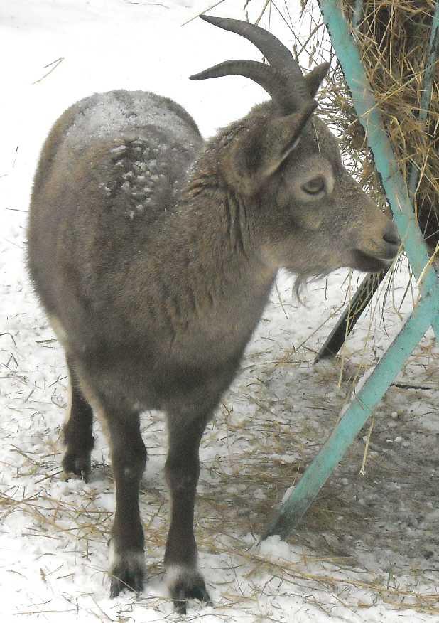 Сибирский горный козел - Capra ibex sibirica  (фото 2732)