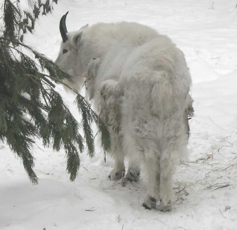Снежная коза - Oreamnos americanus  (фото 2735)