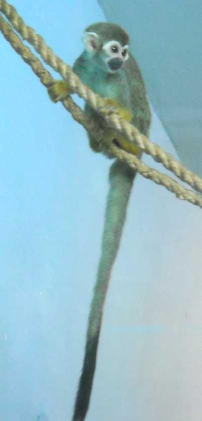Беличий саймири - Saimiri sciureus  (фото 2757)