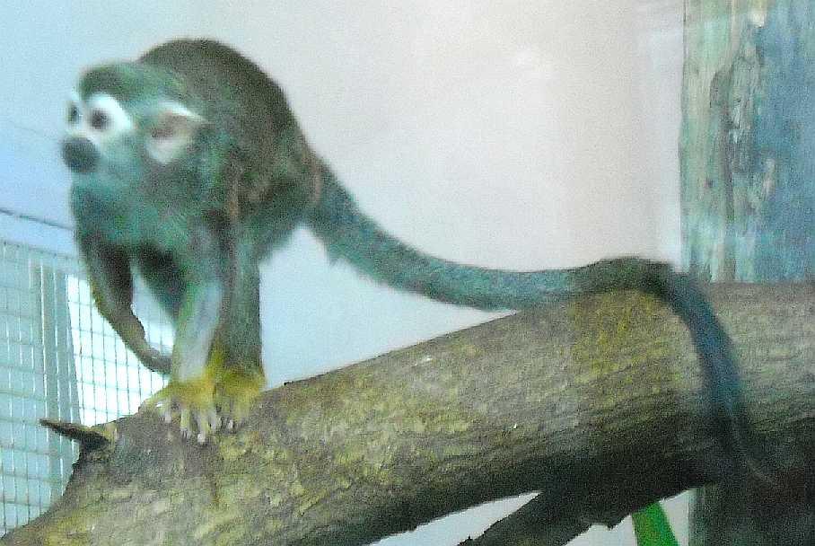 Беличий саймири - Saimiri sciureus  (фото 2759)