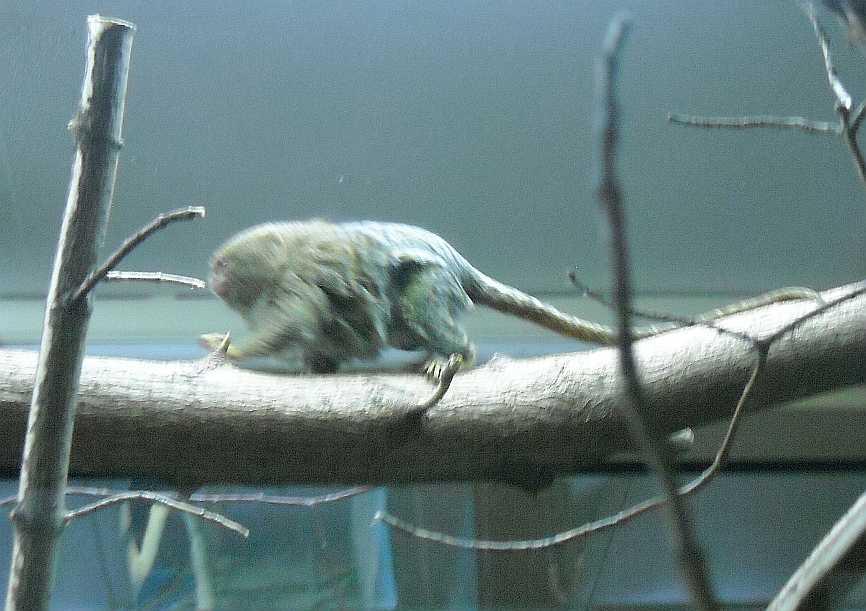 Карликовая мармозетка - Cebuella pygmaea  (фото 2761)