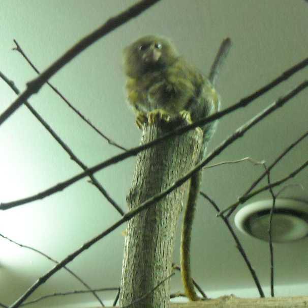 Карликовая мармозетка - Cebuella pygmaea  (фото 2762)