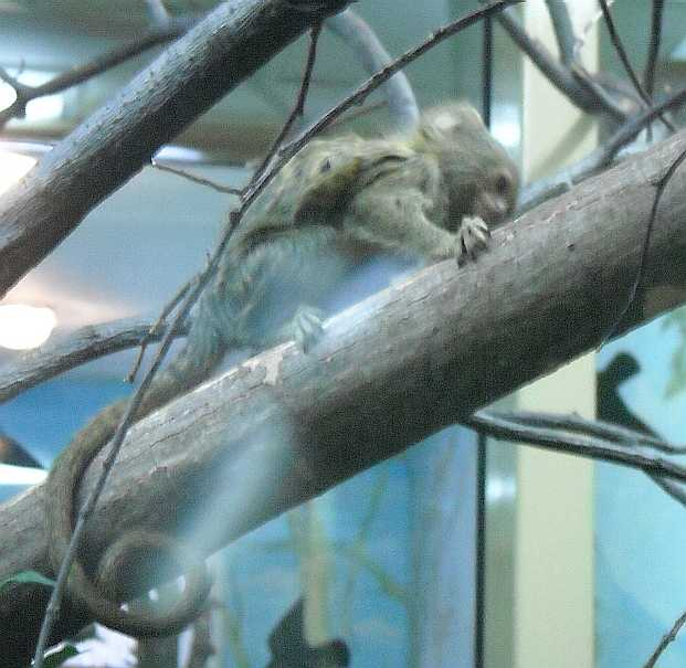 Карликовая мармозетка - Cebuella pygmaea  (фото 2763)