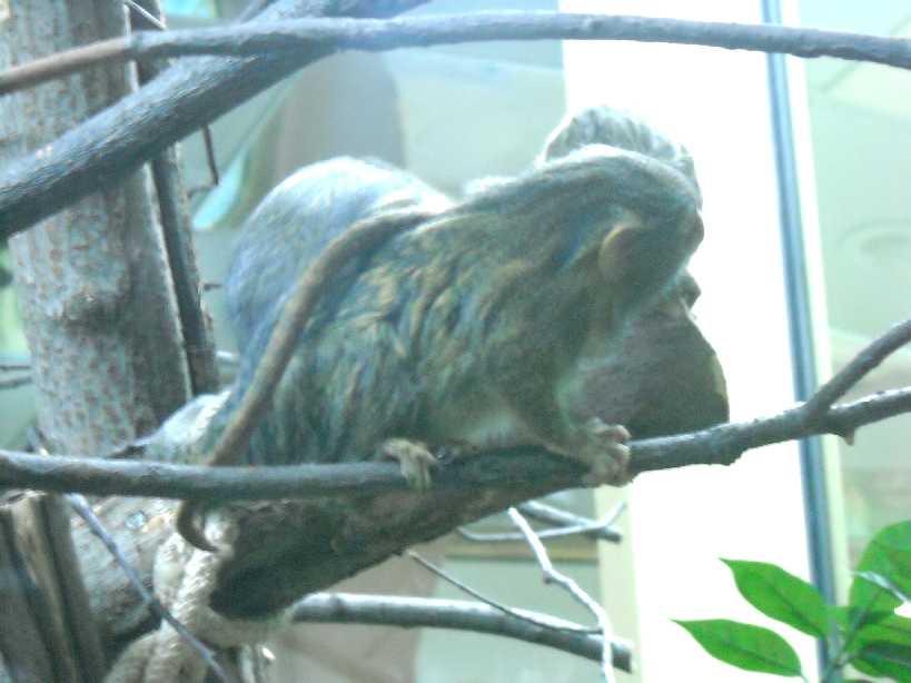 Карликовая мармозетка - Cebuella pygmaea  (фото 2771)